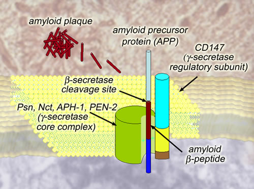 cell membrane diagram. inside the cell membrane,