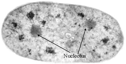 Nucleolus